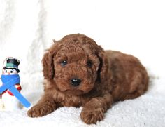 👋🐞Check out this #littlelovebug!! This #littlecutie is a #MiniGoldendoodle puppy named Bobby, and he has the most #beautifulcurlyredcoat! Bobby is sure to fill your heart with so much love!💗 #Charming #PinterestPuppies #PuppiesOfPinterest #Puppy #Puppies #Pups #Pup #Funloving #Sweet #PuppyLove #Cute #Cuddly #Adorable #ForTheLoveOfADog #MansBestFriend #Animals #Dog #Pet #Pets #ChildrenFriendly #PuppyandChildren #ChildandPuppy #LancasterPuppies www.LancasterPuppies.com Mini Goldendoodle Puppies, Lancaster Puppies, Puppy Names, Fun Loving, Puppies For Sale, Mans Best Friend, Puppy Love, Bobby, Pets