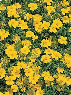 'Lemon Gem' and 'Tangerine Gem' marigold petals have a citrusy-tarragon flavor that will add spice to something as common as deviled eggs. Fruit Trees, Trees To Plant, Herb Garden, Garden Plants, Forest Garden, Annual Flowers, Edible Flowers, Deviled Eggs, Marigold