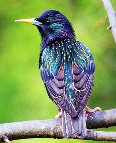 The European Starling - a beautiful bird that we wish would go back to where it came from