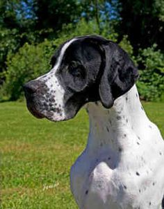 pointers english pointers dogs gauge back 4 of 47 next http://www.turmericfordogs.com/blog