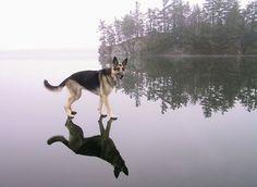 Dog Walking on Water?