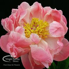 Coral Charm is a eye-pleasing peony. This variety is classified as a semi double bloom (two or three rows of irregularly shaped petals surrounding exposed stamens). This variety is a surprising flower, starting out as an intense coral color and gradually lightening as it blooms completely.