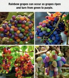Rainbow grapes