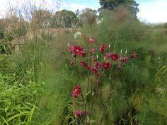 Bildresultat för bronze fennel tulips