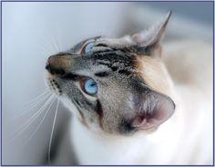 Looks kinda like my Jazzy cat! Pretty blue eyes