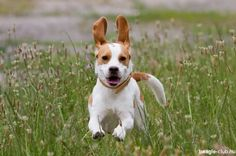 Füles #beagle
