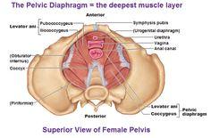 obturator internus, tendinous arch of levator ani, pelvic diaphragm (levator ani + coccygeus)