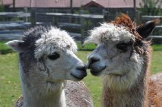 Raising alpacas for their fiber.