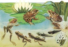 What is a Frog?  A Scientist looks at Frogs  Let's look at toads, tadpoles and frogs. What makes these animals amphibians?