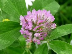 Red clover (Trifolium pratense) is a wild plant that many of us can easily recognize; and for countless individuals over the age of 60 they have fond memories of eating these sweet flowers as a child. In North America this is an edible plant that traditionally is thought of as nothing more than fodder for …
