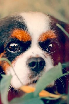 """The Cavalier King Charles Spaniel is little, caring and spirited. The common Cavalier is constantly delighted, relying on and relaxed, a pal to everyone he satisfies. True to their heritage as """"comforter pet dogs,"""" Cavaliers like to be in a lap. Taking Care Of A Pet Dog Made Simple Using This Article In terms of learning, we never stop. May it be new cooking techniques or new driving routes, we're always getting new information. In relation to dogs, there exists always new thin Cavalier King Charles Dog, King Charles Spaniel, Wrinkly Dog, Brown Puppies, Pet Boarding, Big Brown, Buy Pets, Bichon Frise, Dog Care"""