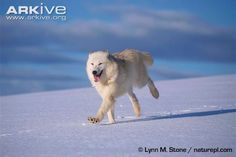 ARKive - Grey wolf videos, photos and facts - Canis lupus