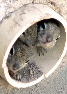 Love these little squirrels peeking out of the pipe!  They are so sweet!  I found this on Etsy from Laurel Photo and Craft.