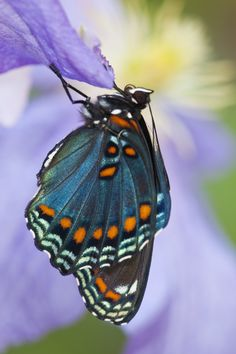 The Red-spotted Purple Butterfly on Clematis, Limenitis arthemis, photography by:  Darrell Gulin