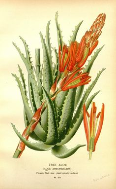 Aloe arborescens . v. 4 - Favourite flowers of garden and greenhouse / - Biodiversity Heritage Library