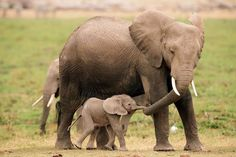 Mom and baby elephants holding hands or trunks