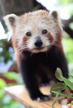 Meet Chori, the resident red panda at Australia's Symbio Wildlife Park
