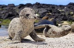 Nope, these aren't concrete lawn ornaments ~ they're Sea Lion babies rolling in sand for sun protection!