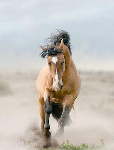 Wild Buckskin Mustang Stallion Galloping Kicking up Dust With Each Stride. (by mari-mi, via Flickr).
