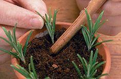 En la primavera cuando el romero desarrolla con fuerza nuevos brotes tiernos es el mejor momento para reproducir romero desde esquejes, os explico como hacerlo...