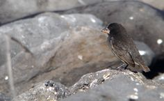 Embora Charles Darwin possuísse a maior coleção de tentilhões de Galápagos, que posteriormente foram chamados de tentilhões-de-Darwin, ele não havia anotado em qual ilha havia coletado cada espécie. Embora soubesse da importância dos animais, Darwin não tinha informações suficientes para utilizá-los em sua pesquisa. Em seu livro A Origem das Espécies, em que apresentou a Teoria da Evolução para o mundo, não há nenhuma menção a essas aves: http://abr.io/4g3r