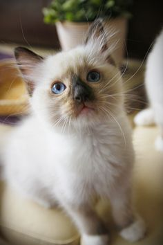please join us on FB Maru the Cat, Ragdoll PL  #ragdoll #kitten #cute #cat
