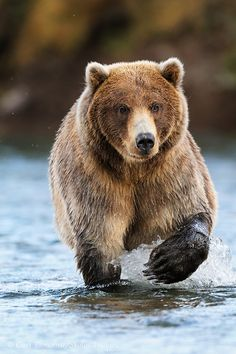 Brown Bear in Katmai National Park by Expeditions Alaska