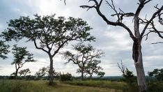 Stock Footage of A linear early morning timelapse of a lush green landscape of Marula trees in a game reserve setting with a road running past and clouds moving across. Explore similar videos at Adobe Stock Road Running, Kruger National Park, Game Reserve, Green Landscape, Lush Green, Early Morning, Stock Video, Stock Footage