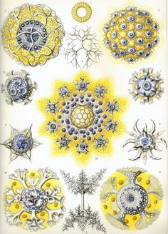 Ernst Haeckel – Art Forms of Nature: Polycyttaria
