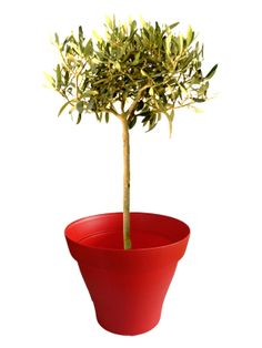 petit palmier phoenix avec cache pot rouge plantes d 39 int rieur avec pots rouge pinterest. Black Bedroom Furniture Sets. Home Design Ideas