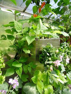 Gemüseanbau auf Balkon und Terrasse! 10 Jahre Erfahrung mit dem KUBI. Der KUBI ist ein perfekt abgestimmtes Anbausystem aus Bewässerung, Kompostierung und Erdvolumen. KUBI Turm aus Edelstahl im Gewächshaus. #KUBI #Hochbeet #Gewächshaus #Gemüse #Anbau #Anfänger #Edelstahl #Balkon #Terrasse #vertikal #vertical #gardening #urban