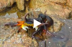 """The predator's """"sheer aggressiveness"""" surprised even an octopus scientist."""