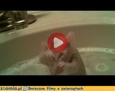 Szczurek w kąpieli Śmieszne Filmy Inne zwierzęta http://Zoomia.pl