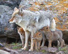 Coyote and Pups Desert Coyote, Animals Beautiful, Cute Animals, Wild Animals, Coyote Pup, Pet Dogs, Dog Cat, Desert Animals, Mundo Animal