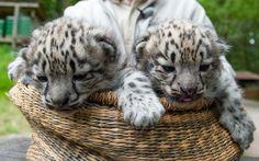 27/05 - Zoo Lueneburger Heide, na cidade alemã de Nindorf-Hanstedt, apresenta filhotes de leopardo-das-neves nascidos no último dia 5