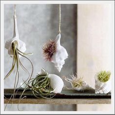 Seashell Vase. Realistic shells created in unglazed porcelain may be used as vases or hanging ornaments. Each shell can hold water and small blooms. Or, for a fuss free natural look, use with air plants (as shown).