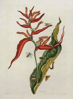 Maria Sibylla Merian Red Ginger with Insects 1719