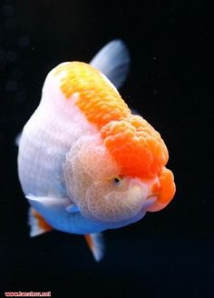 中国金鱼品种图解,太全了! - 吝色鬼 - 吝色鬼 的博客