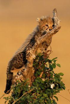 magicalnaturetour:  Climbing Cheetah cub (by Olivier DELAERE) :)
