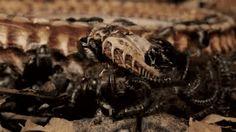 Watch flesh-eating beetles strip this body down to the bone