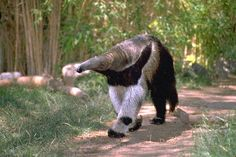 A giant anteater out for a morning stroll.