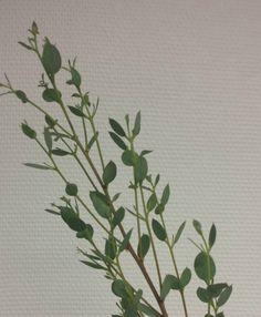 Poppel - Eucalypthus