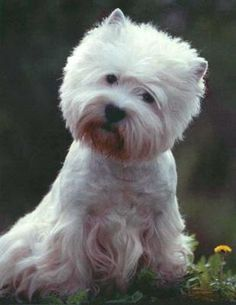 West Highland White Terrier..just love..love...Westies ...they are such fun dog...a wonderful personalities ;0)