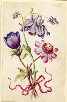 Drawing from an album, purple Columbine and purple and crimson Anemones, tied with crimson ribbon Watercolour over metalpoint, on vellum by Alexander Marshall. British, date 1639-1682.