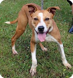 CODE RED ONLY HAS UNTIL 2/14/16 TO LIVE!!~~~My name is Sandy. I am a sweet year old girl with a great disposition and a zest for life. The only thing I am missing is a forever family to love! I am very energetic so an active family that loves hiking and long walks would be perfect for me. I would really love to spend my beginning years in a home with family to love not here in the shelter!