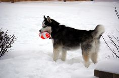 Siberian Husky Football