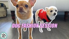 Dog Fashion Session - chihuahua and pomchi put on dog clothes outfit for... Dog Fashion, Minka, Put On, Warm Weather, Chihuahua, French Bulldog, Dogs, Animals, Outfits