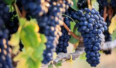 Shutterstock Cabernet Sauvignon, Istanbul, The Secret, Comme, Blog, French Oak, Dry Red Wine, Wine Vineyards, Figs