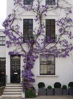 Few florals cause us to stop in our tracks as delicate weeping wisterias do. These dripping lavender beauties have a serenity about them that inspires calm wherever they hover—be it on a townhouse facade, above an alfresco dining space, or in an allée over a pergola that frames a garden path.