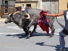 Santacara: Vacas de Pedro Dominguez Año 2015 (4) Moose, Cow, Animals, Cows, Animales, Animaux, Mousse, Cattle, Animal